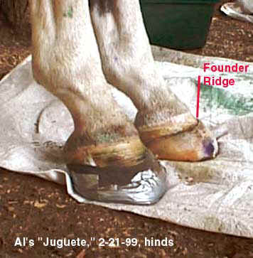 Treating Founder Chronic Laminitis Without Horseshoes 8