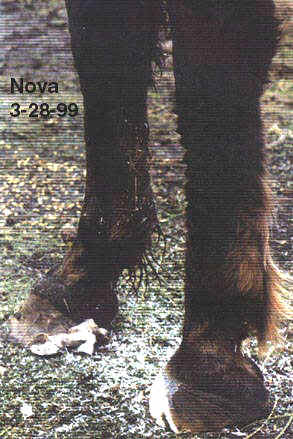 Treating Founder Chronic Laminitis Without Horseshoes 4