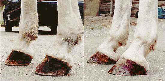 Treating Founder Chronic Laminitis Without Horseshoes